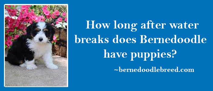 How long after a water breaks Bernedoodle have puppies