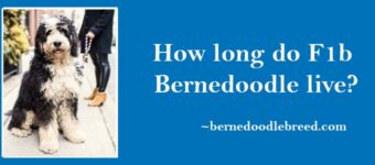 How long do F1b Bernedoodle live? Depends upon their food, weather, training, and health