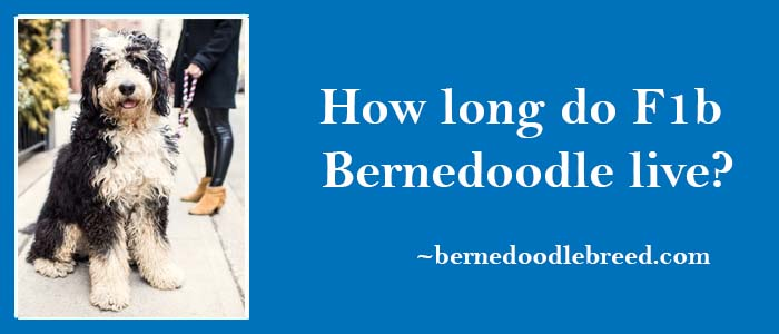 How long do F1b Bernedoodle live