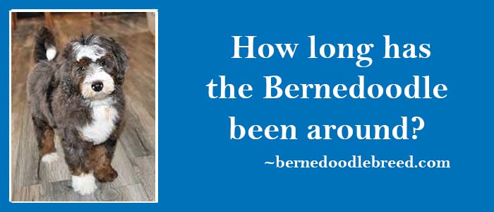 How long has the Bernedoodle Been Around? Diet, Weight, Exercise, and Checkups