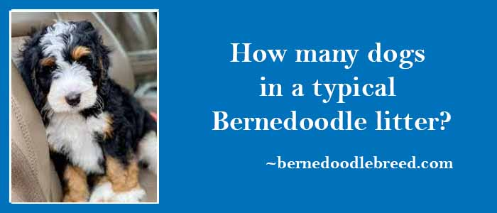 How many dogs in a typical Bernedoodle litter? No specific rules/ Mostly depends upon mother size