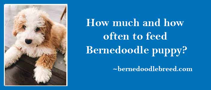 How much and how often to feed Bernedoodle puppy
