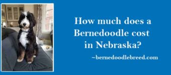 How much does a Bernedoodle cost in Nebraska?