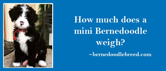 How much does a mini Bernedoodle weigh? Mostly depends upon parents weight