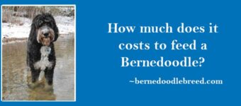 How much does it costs to feed a Bernedoodle? Depends upon size, growth, and food quality