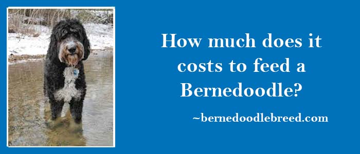 How much does it costs to feed a Bernedoodle