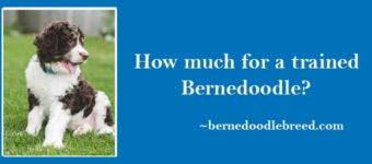 How Much I have to Pay for a trained Bernedoodle? Little expensive as compared to normal Bernedoodles