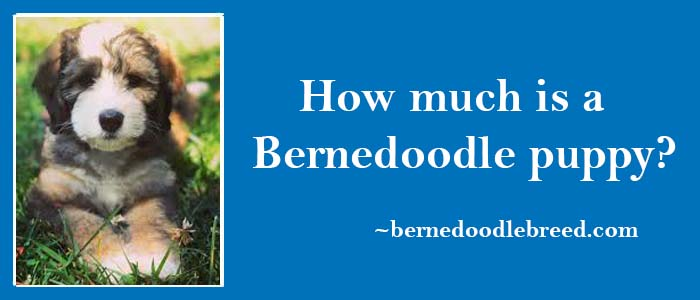 How much is a Bernedoodle Puppy? Factors effecting the Bernedoodle puppy cost