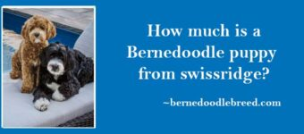 How much is a Bernedoodle puppy from Swissridge? Most experianced Bernedoodle breeder