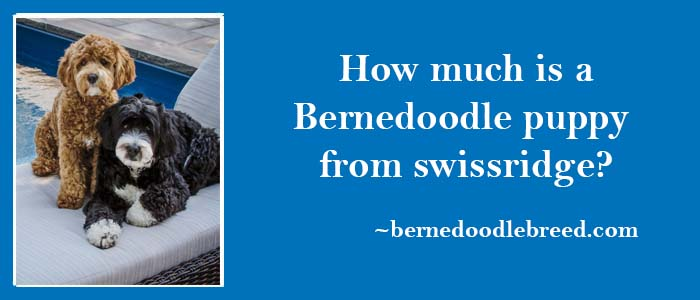How much is a bernedoodle puppy from swisridge
