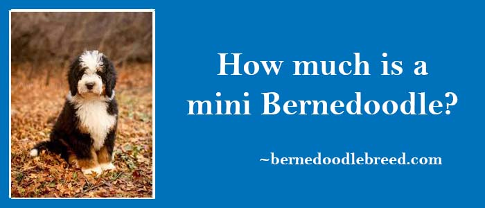 How much is a mini Bernedoodle? Cost / Price of a Mini Bernedoodle?