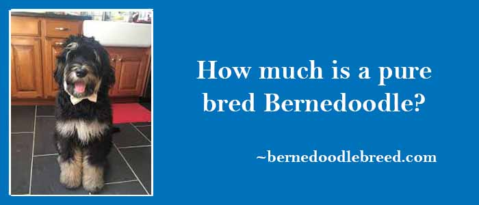How much is a pure bred Bernedoodle? The most expensive Bernedoodle dog
