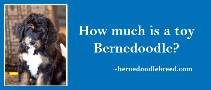 How much is a toy Bernedoodle? Depends upon their coat, size, color, generation, and breeder experiance