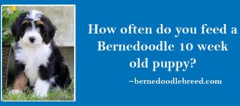 How often do you feed a Bernedoodle 10 week old puppy? Essential for Bernedoodle puppies