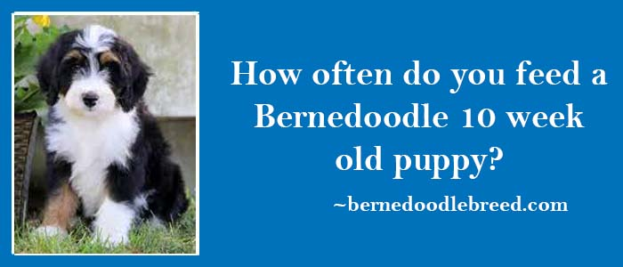How often do you feed a 10 week old Bernedoodle puppy