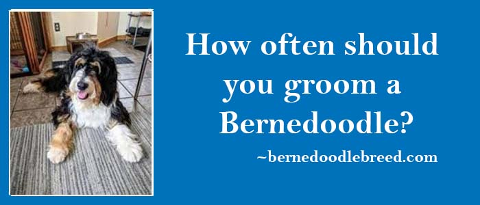 How often should you groom a Bernedoodle? Grooming depends upon coat type