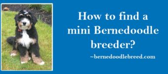 How to find a mini Bernedoodle breeder? We Did it for You!