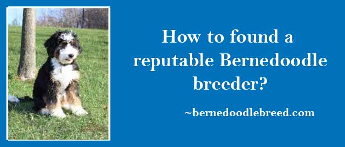 How to find a reputable Bernedoodle breeders? Challenging due to a lot of new breeders