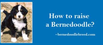 How to raise a Bernedoodle? Guide to Raise a Perfect Bernedoodle