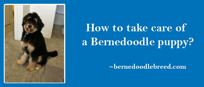 How to take care of a Bernedoodle puppy? Early days are critical for Bernedoodle puppy