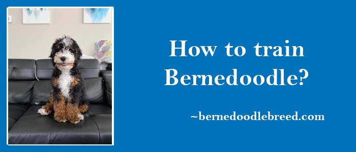 How to train Bernedoodle? Complete Training Guide