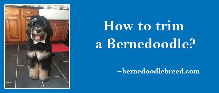 How to trim a Bernedoodle