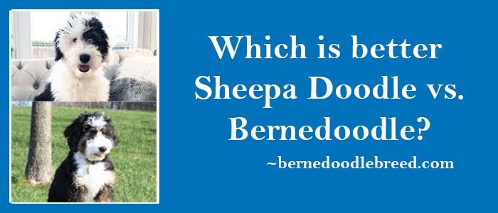 Sheepa doodle vs. Bernedoodle