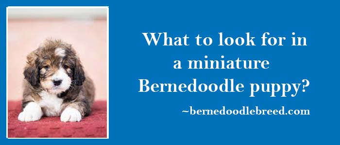 Waht to look for in a miniature Bernedoodle puppy