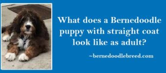 What does a Bernedoodle puppy with straight coat look like as adult? Completely different look as an adult