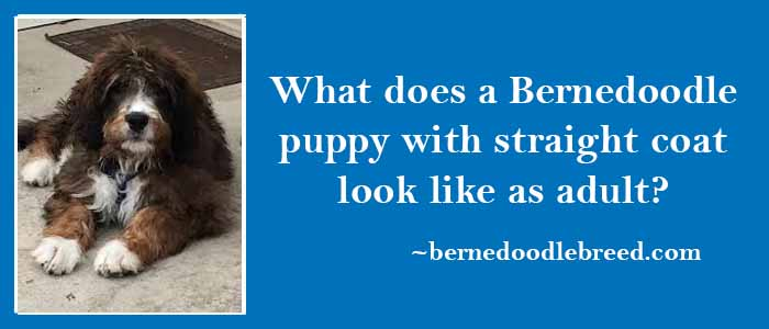 What does a Bernedoodle puppy with straight coat look like as adult