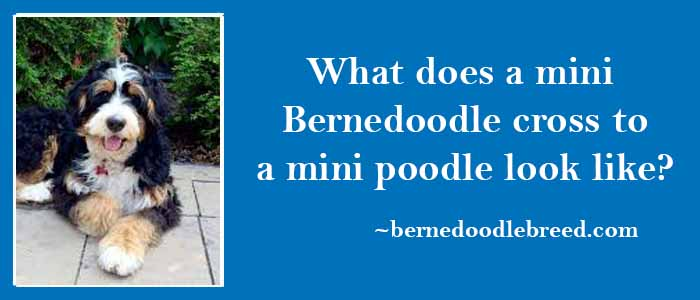 What does a mini Bernedoodle cross to a mini poodle look like? Cross between Bernedoodle and Poodle dog