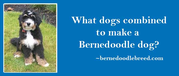 What dogs combined to make a Bernedoodle dog? Mainly depends upon the different generations
