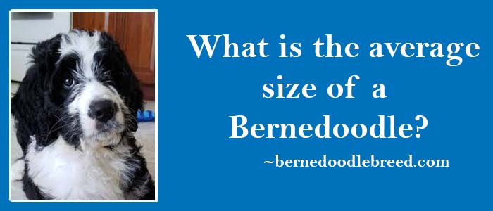 What is the average size of a Bernedoodle