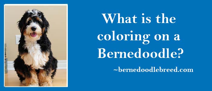 What is the coloring on a Bernedoodle