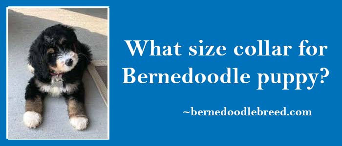 What size of collar is needed for Bernedoodle Puppy? Depends upon the different sizes of Bernedoodles