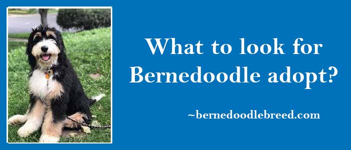 What to look for while Adopting a Bernedoodle? Most Important things
