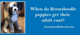 When do Bernedoodle puppies get their adult coat? A double layer coat of fur