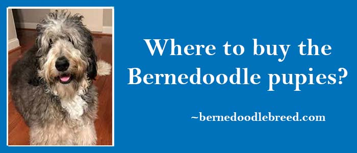 Where to buy the Bernedoodle puppies