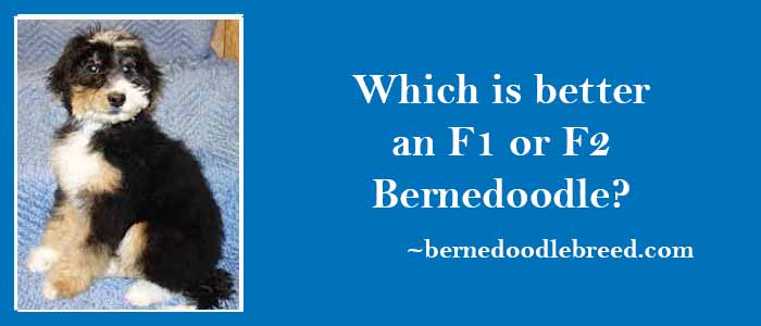 Which is better, An F1 or F2 Bernedoodle? Detailed Comparison