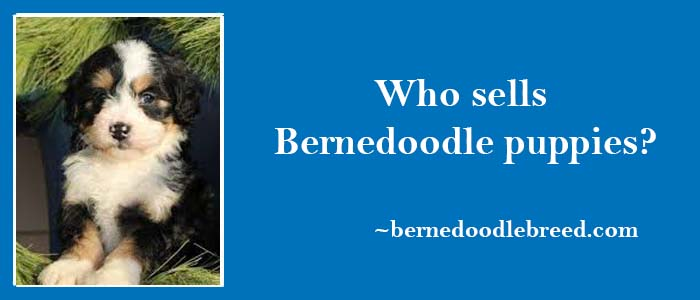 Who sells Bernedoodle puppies