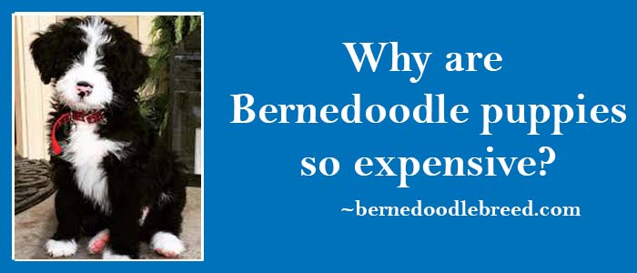 Why Bernedoodle Puppies Are So Expensive? They are High Demand Puppies!