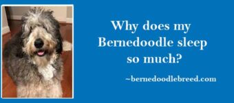Why does my Bernedoodle sleep so much? Dog's Sleep Problem