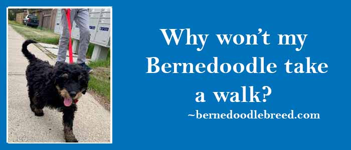 Why won't my Bernedoodle take a walk? Take some time to adjust in environment