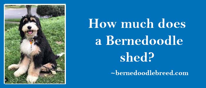 how much does a Bernedoodle shed