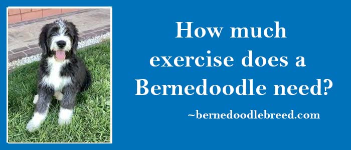 How much exercise does a Bernedoodle need? Depends upon Bernedoodle energy level