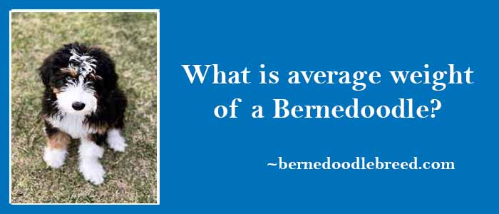 what is average weight of a Bernedoodle
