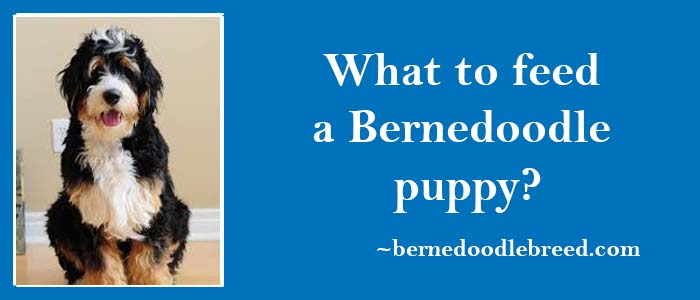 what to feed Bernedoodle puppy