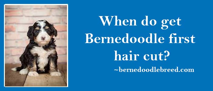 When should we get Bernedoodle first hair cut? Wait until the Bernedoodle actual coat appears