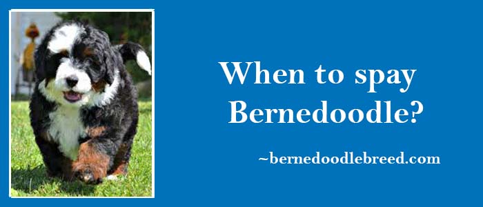 When to Spay Bernedoodle? Spaying Guide for both Male & Female dogs