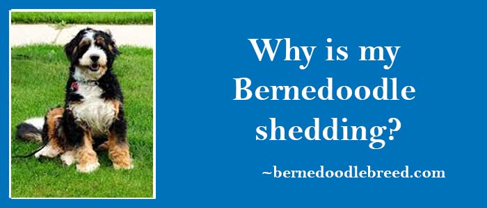 why my Bernedoodle shedding